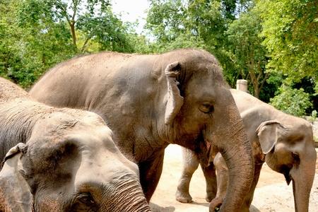 forest elephant