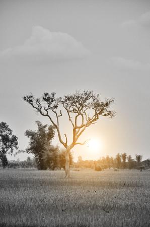 lonely tree in cornfield