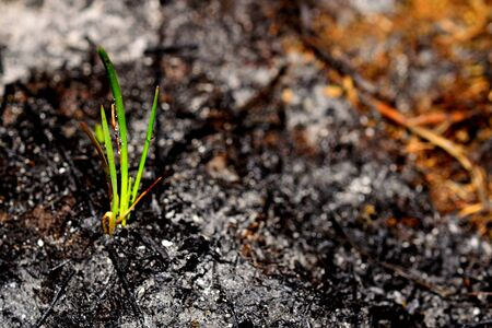 Sprout rises over burnt ground. Grass ash after arson. Recovery after massive crysis. Future resurrection. Copy space on the right.