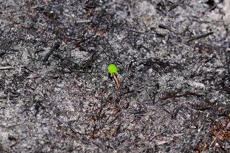 Sprout rises over burnt ground. Grass ash after arson. Recovery after massive crysis. Future resurrection. Centered. Stock Photo