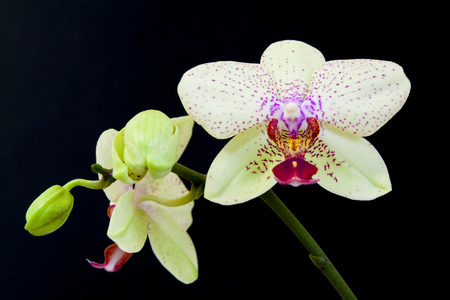 close up view: Close up view of white orchid on black background Stock Photo