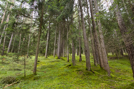 Panoramic view of a forest in Seiser Alm Stock Photo