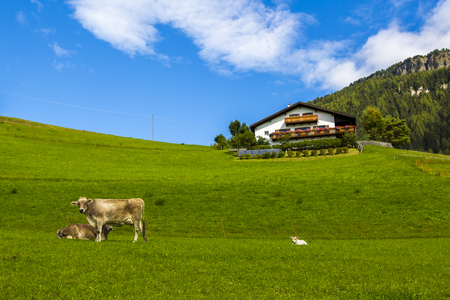 View of a portion of the valley in Seiser Alm with two  cows in the foreground