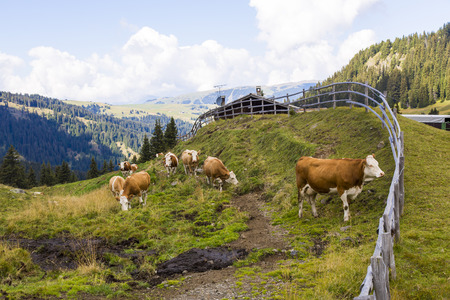 sud tirol: Mountain landscape with wooden fence,, shelter and grazing cows