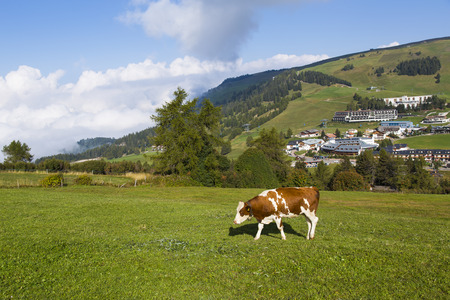 View of the cow grazing in the country of Compatsch in asunny day