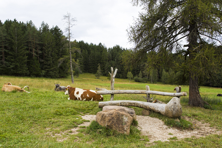 sud tirol: Close up view a grazing cows in Seiser Alm