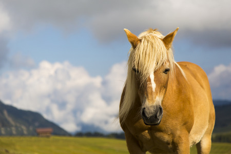 sud tirol: Close up of a horse grazing on a sunny day