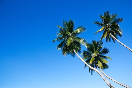 lopsided: Group of three lopsided coconut palm trees against blue sky