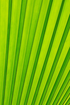 Green palm tree leaf as a background photo