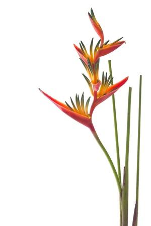 白い背景で隔離花極楽鳥