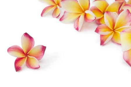 フランジパニ、プルメリア、frangippani の花、白で隔離されます。
