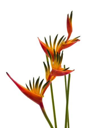 stalk flowers: A Bird of Paradise flower, isolated on white background Stock Photo