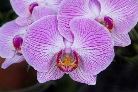 Beautiful purple orchid - phalaenopsis, on dark background photo