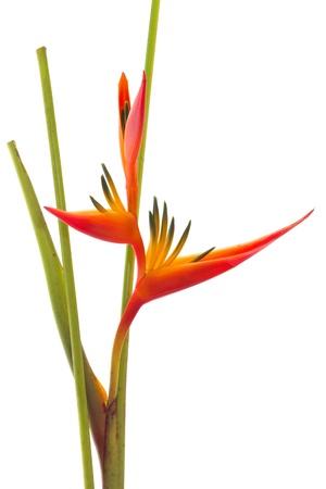 熱帯の花極楽鳥、白い背景で隔離