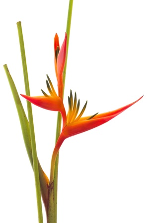 feuillage: Oiseau du paradis tropical fleur, isol� sur fond blanc Banque d'images