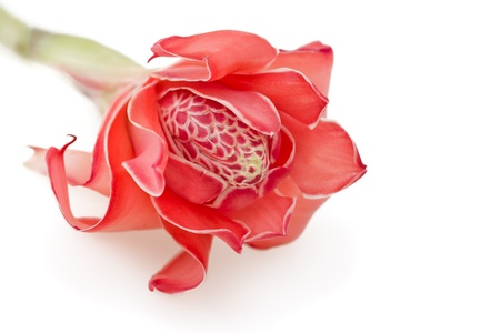 Tropical flower torch ginger  Etlingera elatior , isolated on white background