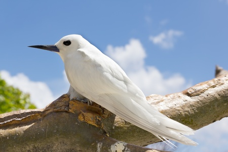 The White Tern Bird  or holy ghost bird - species Gygis alba , common Bird in Seychelles
