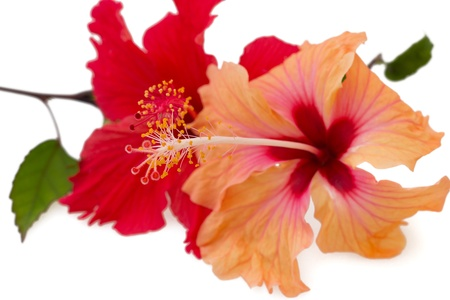 Pare of red and orange hibiscus flowers, isolated on white background  Stock Photo