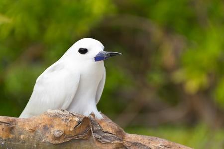 ホワイト アジサシ鳥や聖霊鳥 - セイシェルの共通の鳥の種 Gygis アルバ