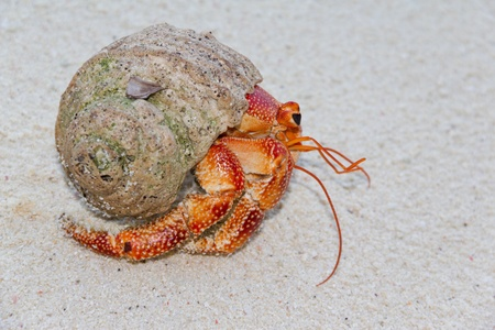 sea creature: Hermit Crab on a beach