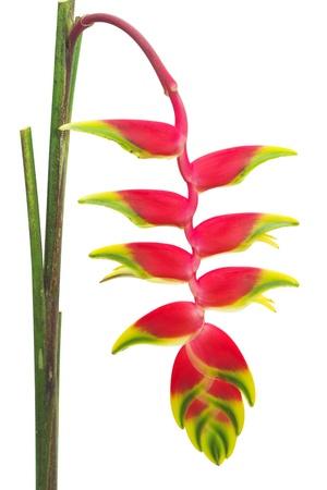 白で隔離され、熱帯の花ヘリコニア