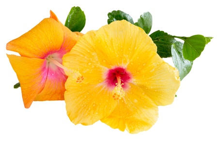 Yellow and orange Hibiscus, Tropical flowers isolated on white background