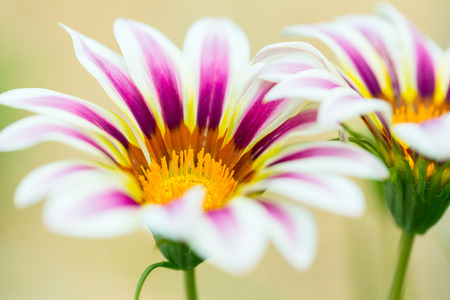 Tiger Striped Gazania fleur, gros plan