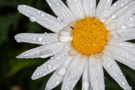 shasta daisy: Closeup of a beautiful yellow and white Marguerite, Shasta daisy flower  Chrysanthemum maximum
