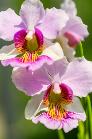 Pink Vanda Miss Joaquim orchid , national flower of Singapore, close up Stock Photo - 29899504
