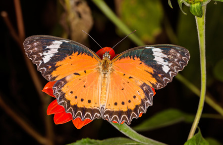 plexippus: Monarch Butterfly on a orange flower, Danaus plexippus