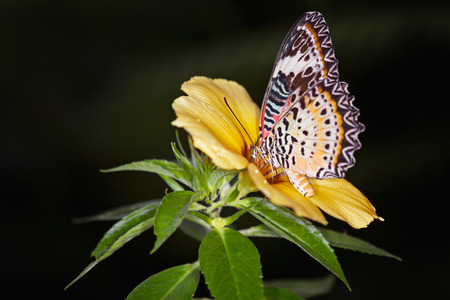 danaus: Monarch Butterfly on a yellow alamanda flower, Danaus plexippus Stock Photo