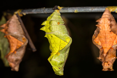 pupa: Butterfly Pupa, macro Stock Photo