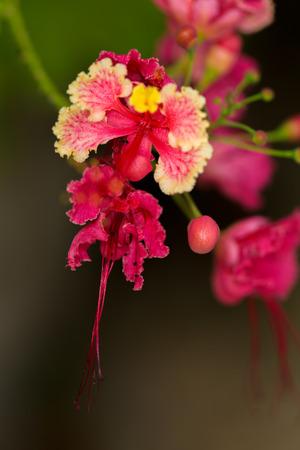 fabaceae: Caesalpinia pulcherrina, family name Fabaceae, common name Peacock flower, Pride of Barbados Stock Photo