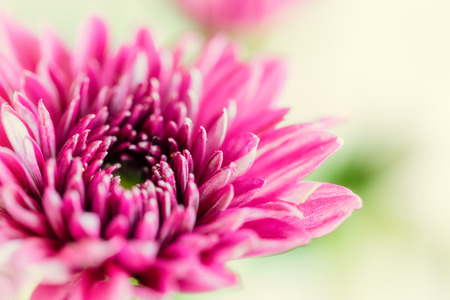 Close up background of purple chrysanthemum flower, macro on green bacckground