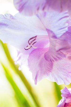 Background of mix Gladiolus flowers, macro, close up Stock Photo