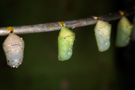 Several butterfly pupas on the branch Stock Photo