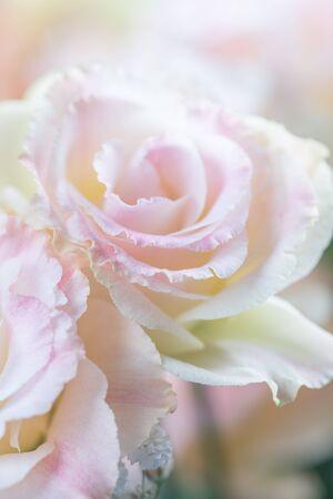 Schöne und sanfte rosa Eustoma-Blumen, Lisianthus, Tulpenenzian, Eustomas. Nahaufnahme, vertikale Komposition, selektiver Fokus Standard-Bild