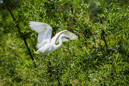 egret: Egret Stock Photo