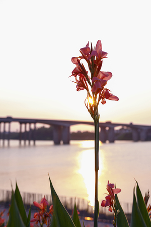 Canna flower under sunset