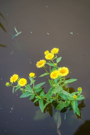 Yellow flowers flooded after rain
