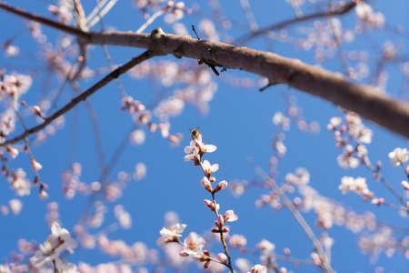Bee on peach blossom