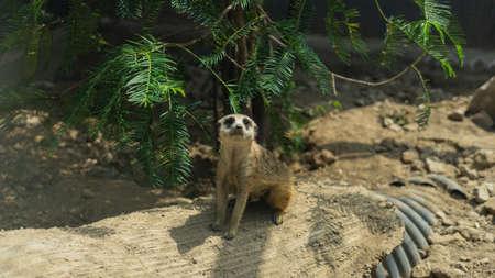 Meerkat sitting on the ground