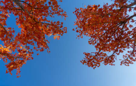 Red maple leaves in the sky