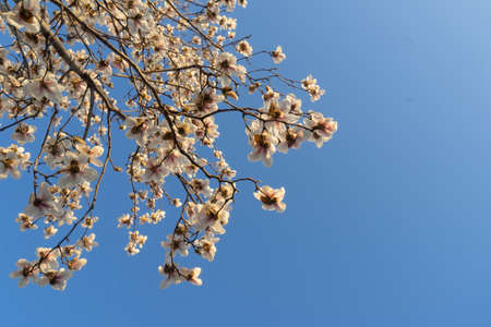 White magnolia flowers in the sky
