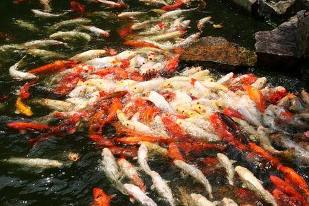 cypriniformes: colorful oriental fish, koi, at feeding time Stock Photo