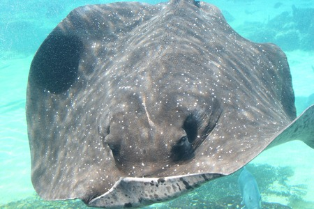 big fin: Giant cowtail stingray swimming underwater with menacing eyes staring at the audience Stock Photo