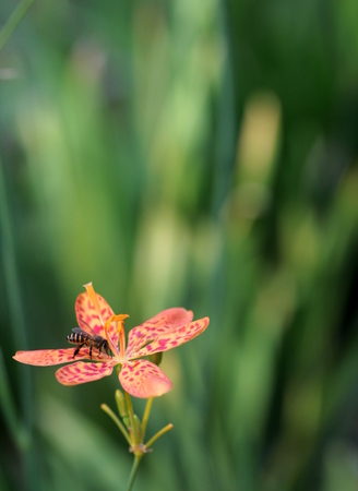 iridaceae: A bee collecting honey on a leopard lily flower, in vertical format, and copy space available Stock Photo