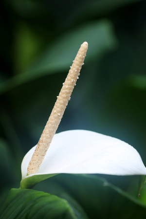 spadix: Close up of Arum Lily, suitable as background