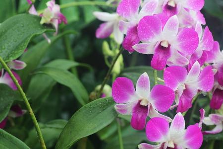 vigor: Pink dendrobium Eastern Vigor orchid in full bloom after rain Stock Photo