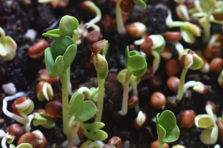 Radish seeds sprouting out from earth Stock Photo